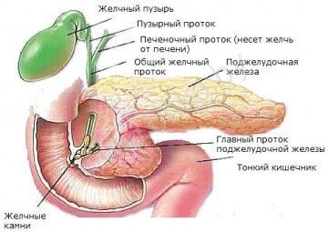 Устройство поджелудочной железы, желчный пузырь, поджелудочная железа, желчные камни, тонкий кишечник